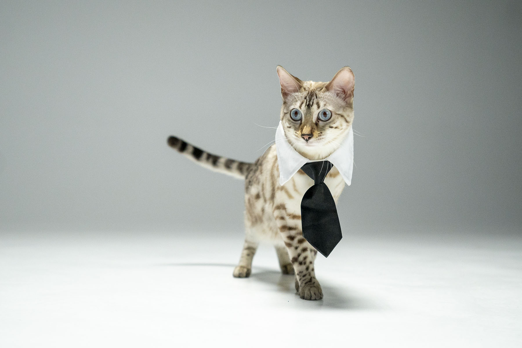 Cat with tie (Variant 2)