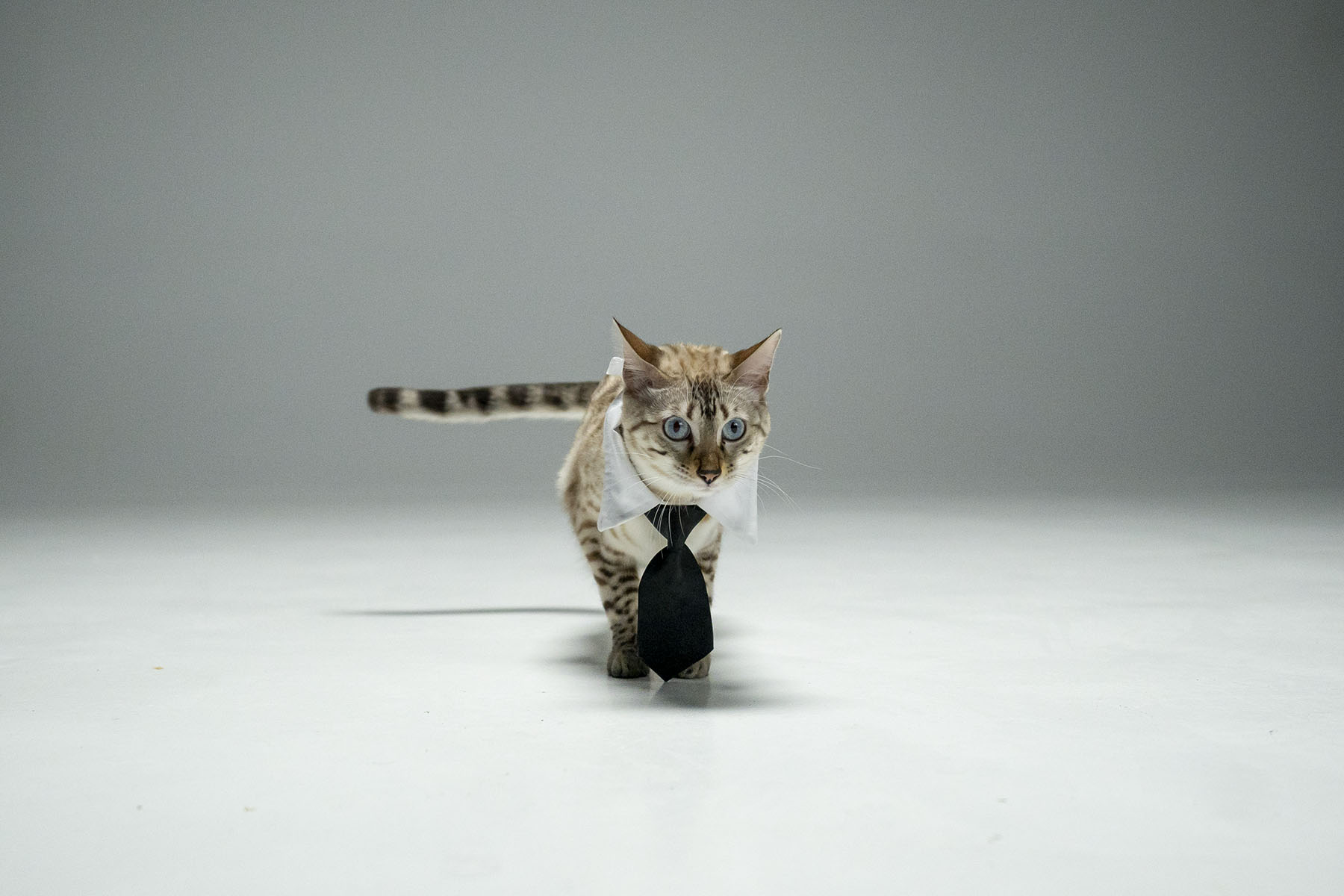 Cat with tie (Variant 1)