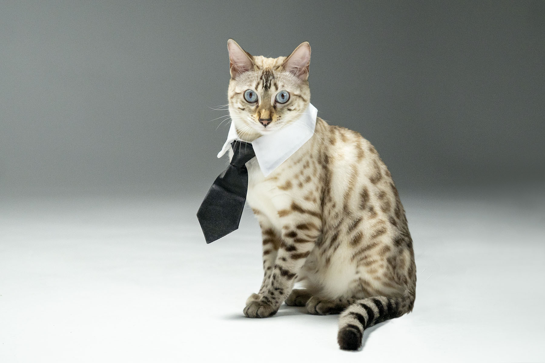 Cat with tie (Variant 3)